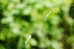 The spider web Royalty Free Stock Images