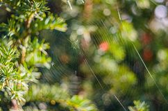 The spider web (cobweb) closeup background. The spider web (cobweb) closeup background on tree Royalty Free Stock Photography