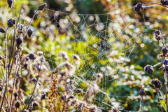 Spider Web,cobweb in meadow Royalty Free Stock Images