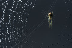 Spider and web. Cobweb and morning dew. Shining water drops on spiderweb. Royalty Free Stock Images