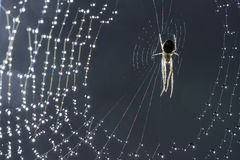 Spider and web. Cobweb and morning dew. Shining water drops on spiderweb. Gray background. Stock Photos