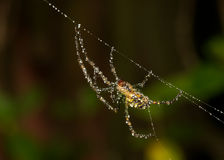 Dew spider. A spider,on a web, covered in dew Royalty Free Stock Images