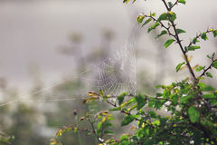 Spider web covered with dew in the morning Stock Images