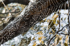 Spider web covered in dew on a tree Stock Photo