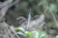 Spider on web creating pattern Royalty Free Stock Photography
