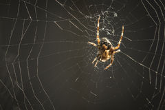 Spider in web. Cross Spider waits for a prey in the middle of a spider web Royalty Free Stock Images