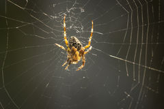 Spider in web. Cross Spider waits for a prey in the middle of a spider web Stock Photos