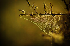 Spider web2. Spider web at dawn sun Royalty Free Stock Images