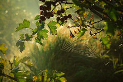 Spider web6. Spider web at dawn sun Royalty Free Stock Photography