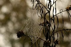 Spider Web with dew. Spider Web with morning dew glistening in sunlight Royalty Free Stock Photo