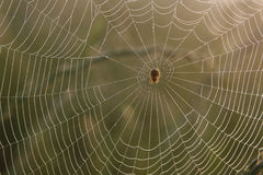 Spider web with dew. In morning Stock Images