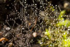 Spider web dew Stock Images