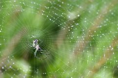 Spider on web with dew. Colorful spider on a cobweb covered in morning dew royalty free stock images