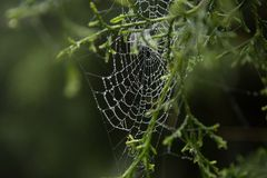 Spider web and dew drop. Royalty Free Stock Image