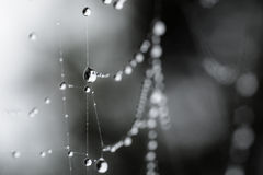 Spider Web Dew Drops Stock Image