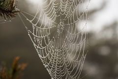 Spider web with dew drops. Autumn melancholy. Stock Image