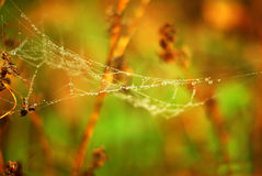 Spider web and dew drops. Royalty Free Stock Photos