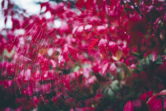Spider web with dew drops on plant with bright-colored red autumn leaves Royalty Free Stock Image