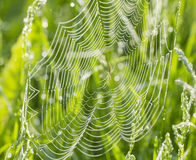 Spider web with dew Stock Photo