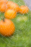 Spider Web with Dew and Pumpkins. Spider web spun in front of pumpkins on grass Royalty Free Stock Photo