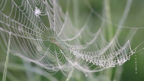 Spider web with dew swaying in the wind on a foggy morning close up, birds singing, nightingale stock video footage