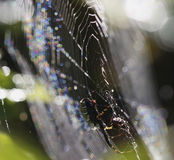 Spider, Web and Dews Royalty Free Stock Image