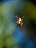 Spider in web with dinner - beautiful colours Royalty Free Stock Image
