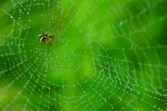 Spider. In a web with drops Royalty Free Stock Photos