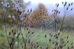 Spider web with drops. In autumn Royalty Free Stock Image