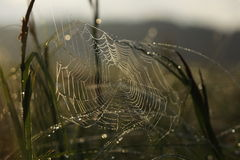 Spider web in drops of dew Royalty Free Stock Photography