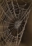 Spider web. With a drops  of morning dew Royalty Free Stock Image