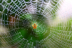 Spider and Web. European garden spider waits for some food on its web Stock Photo