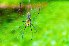 Spider on web. A female Golden SIlk Orb Weaving Spider waiting on her web Stock Image