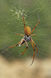 Spider In Web Royalty Free Stock Photos