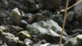 Spider in web stock video