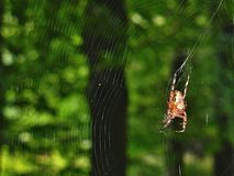 Spider and web at the forest Royalty Free Stock Photos