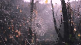 Spider web between forest trees. Sun is shining through the web, wonderful misty woods on background stock video