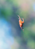 Spider on web in forest. Royalty Free Stock Photos