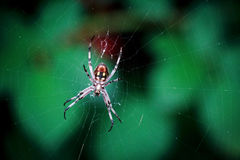 Spider in the web Royalty Free Stock Photo
