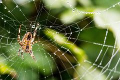 A spider with spider web full of dew drops Stock Photography