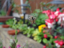 A spider on a web royalty free stock image