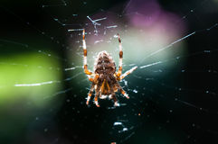 Spider in Web Royalty Free Stock Images