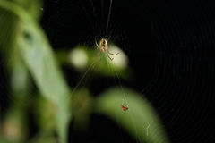 Spider on web getting ready for a snack isolated Stock Photography