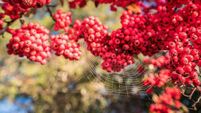 Spider web on the Gold and silver wood fruits Stock Photos