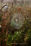 Spider web. Spider web on grass backgroung Royalty Free Stock Images