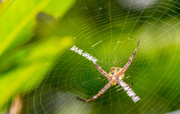 Spider and web with green background Royalty Free Stock Photography