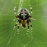Spider on web. In greenhouse, with green vegetation in background. Shot in the United Kingdom Stock Photography