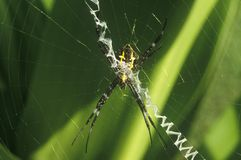 Spider in Web, HI Royalty Free Stock Photo