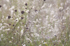 Spider Web In Dew Of The Morning. Royalty Free Stock Photos