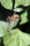 Spider on a web with its captured dragonfly. Stock Photography